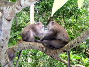 Macague monkeys in Sacred Monkey Santuary Forest