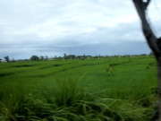 Paddy, an important Bali crop