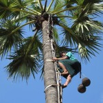 A farmer climbs up the palm tree to bring down flower juice