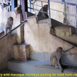 Wild hungry macaque monkeys on the Mount Popa Shrine stairway