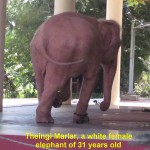 Theingi Marlar, a female white elephant