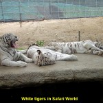 White tigers in Safari World
