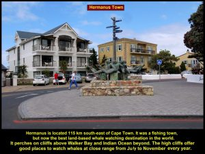 Hermanus Town was a fishing town. Now it is the best land-based whale watching destination in the world.