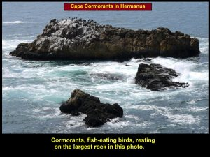 Cormorants resting on a large rock in Walker Bay, Hermanus