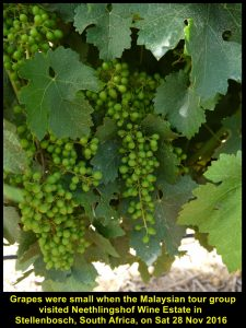 Grapes were young when Malaysian tour group visited Neethlingshof Wine Estate