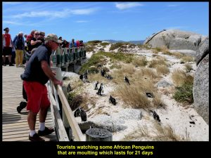 Tourists looking at penguins that were moulting