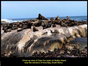 African Fur Seals basking in the sun