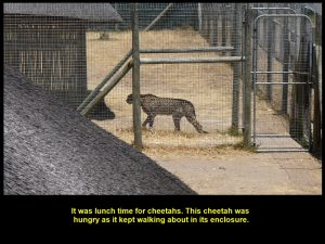 A hungry cheetah walking about and waiting for its food in an enclosed area.
