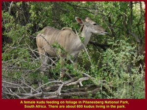 A female kudu eating leaves.