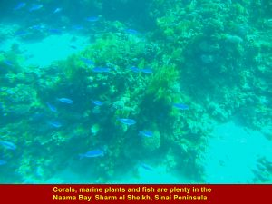Corals, marine plants and fish are plenty in Naama Bay, Sharm el Sheikh
