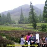 A green tea plantation in Meijiawu Village, Hangzhou