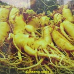 Korean Ginseng Roots