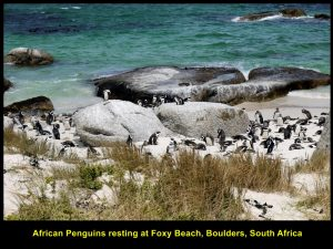Foxy Beach is the best place to watch penguins as it is very close to the the boardwalks