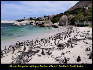 Boulders Beach with lots of African Penguins basking in the sun