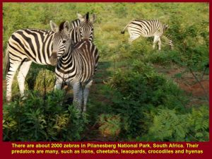 There are about 2000 zebras in Pilanesberg National Park