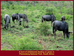 Wildebeests grazing on savanna(grassland)