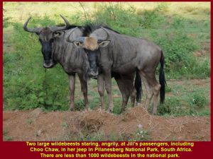 There were less than 1000 wildebeests in Pilanesberg National Park