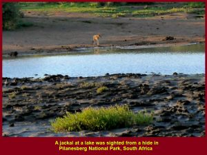 Jackal at a lake