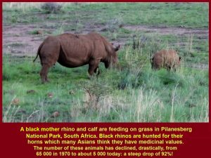 Mother rhino and calf eating grass