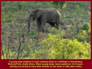 A young elephant roaming alone on a hillslope as it had reached puberty(14-15 years old)