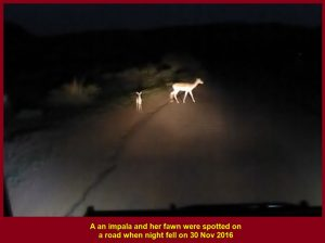 Impala abd her fawn spotted on a road when night fell