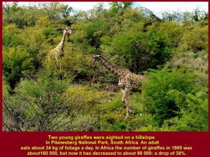 Two young giraffes eating leaves on a hillslope. About 98000 giraffes live in Africa and 170 in Pilanesberg National Park