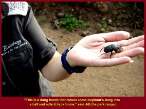 Jill showed Malaysians a beetle that loved to take home elephant-dung.