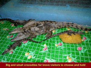 Tour group were encouraged to choose a small or big crocodile for a camera shot