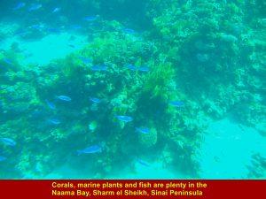 Corals, marine plants and fish are plenty in Naama Bay, Sharm el Sheikh
